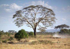 Fever-tree-in-tanzania