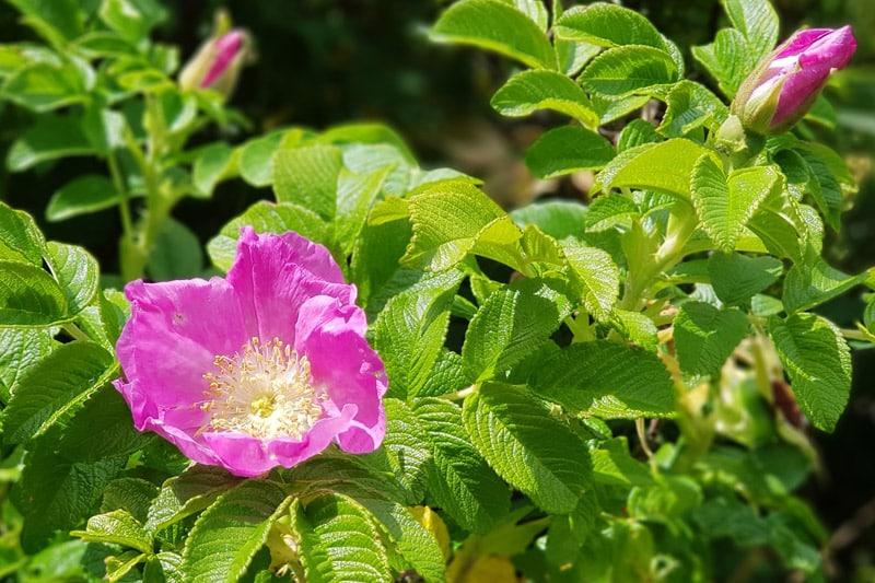 Nyperose hekk med blomster