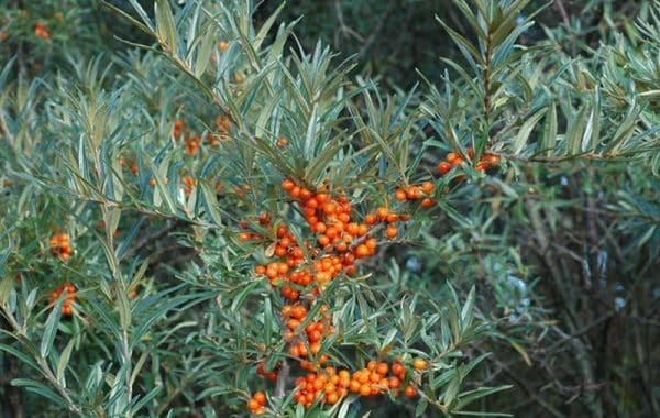 En Tindved busk med orange bær